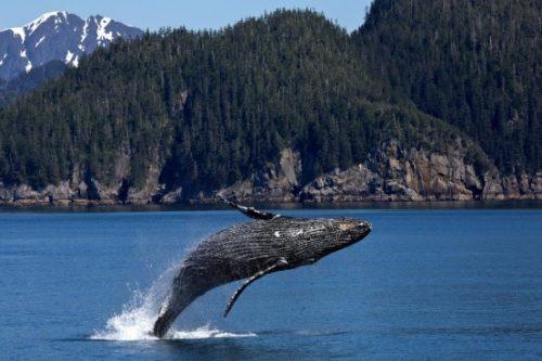 Bronze Whalers